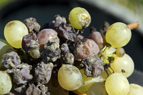 Grapes with Botrytis cinerea, or nobel rot. Photo by A. Haenni