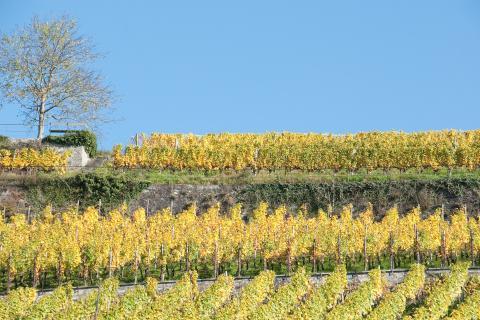 Vineyard in the fall, near Lake Zurich, Switzerland