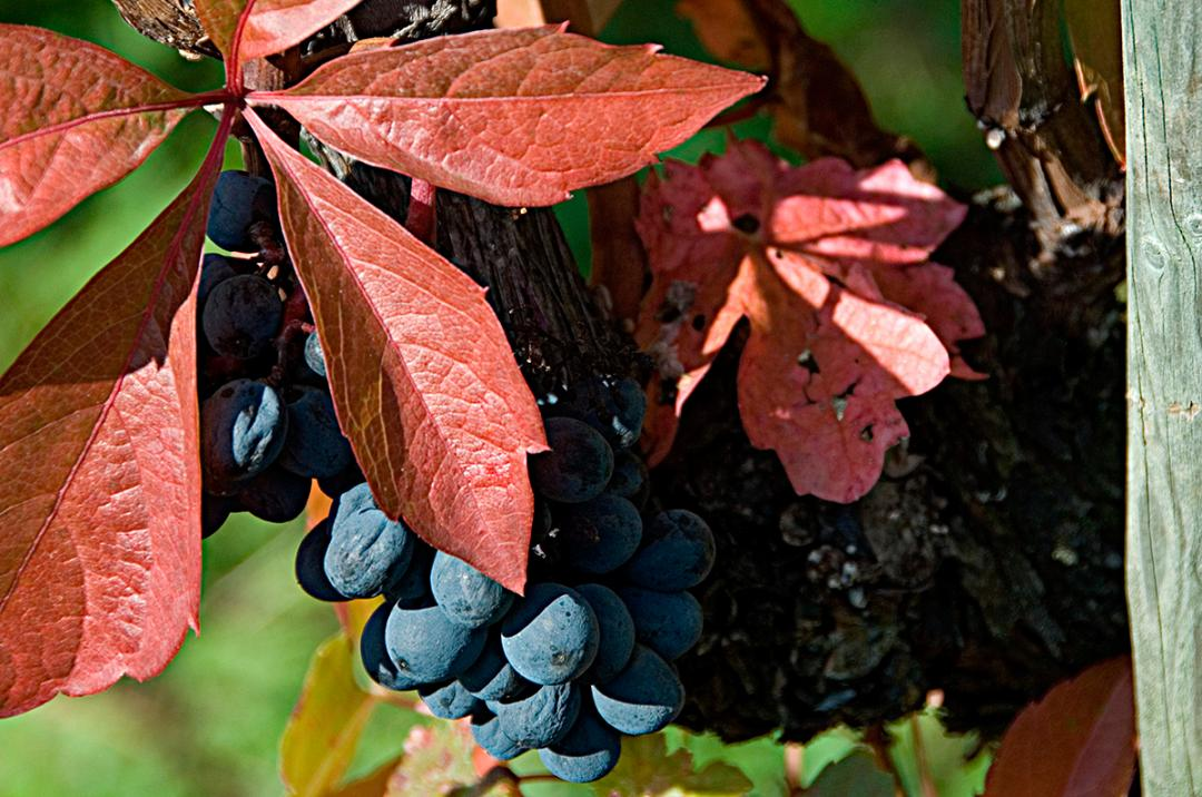 Red leaf and dark grapes. Photo by A. Haenni